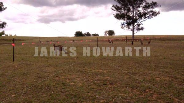 Kangaroo herd at construction barricade on grass area. - Actor Stock Footage