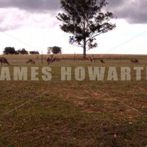 Walking toward Kangaroo herd at construction barricade on grass area. - Actor Stock Footage